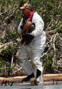 A rescue team captures an oiled pelican for cleaning on Cat Island in Barataria Bay