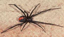 Australia's deadly redback spider has established itself in New Zealand