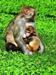Baby monkeys receive signals through their mother's breast milk