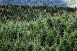 Back off, Rudolph: Protecting this year's Christmas tree crop