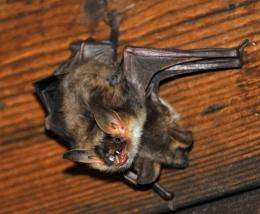 Bats rely on the position of the sun at sunset to navigate