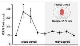 Brain's energy restored during sleep, suggests animal study