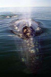Calif. gray whale-watchers fear dip in population (AP)