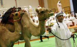 Camels are displayed at an auction in Abu Dhabi, United Arab Emirates