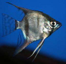 Can angelfish do math?