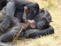 Chimpanzees respond to infant death nearly same as humans