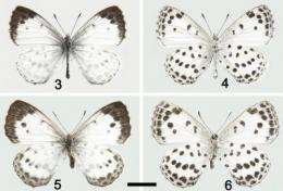 Chinese-German collaboration yields new species of Large Blue butterfly