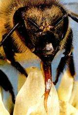 Closeup of bee proboscis.  Image: Ken Chang, Studies In Animal Behavior