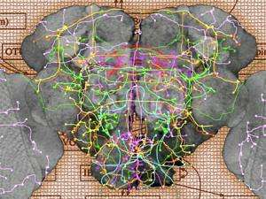 Computer Technique Creates Map of a Fruit Fly Brain