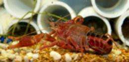 Dangerous lung worms found in people who eat raw crayfish