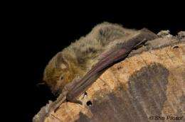 Desert bats reveal the secret of their survival