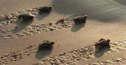 Despite oil, baby turtles being released to Gulf (AP)