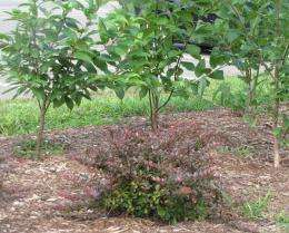 Developing alternatives to invasive shrubs