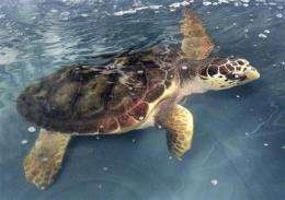 Endangered listing eyed for US loggerhead turtles (AP)