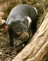 Famed Tasmanian devil euthanized after tumor found (AP)