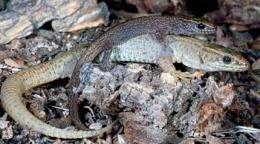 Family ties bind desert lizards in social groups