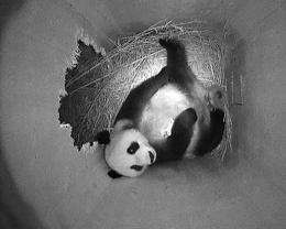Female panda Yang Yand holding the right paw