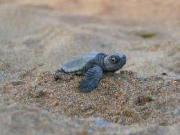 Field study exposes how sea turtle hatchlings use their flippers to move quickly on sand