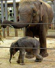File photo of a young male elephant calf  born at Sydney's Taronga Zoo last year