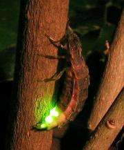 Scientists Investigate How Fireflies Emit Different Colors of Light