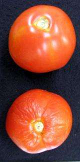 Gene leads to longer shelf life for tomatoes, possibly other fruits