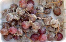 Grape news: New treatment combination safe alternative to sulfur dioxide