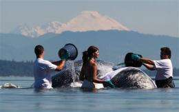 Gray whale stranded again at park in Wash. state (AP)