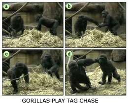 Great apes 'play' tag to keep competitive advantage