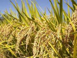 Higher temperatures to slow Asian rice production
