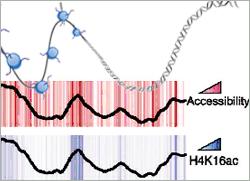 Histone modifications control accessibility of DNA