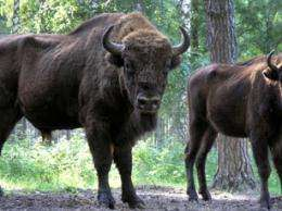 In Europe, bison find plenty of room to roam