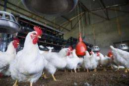 Little melamine appears in eggs from chickens on highly contaminated feed
