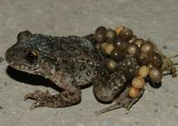 Living the high life is risky business for toads under threat from fungus