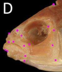 Lopsided fish show that symmetry is only skin deep