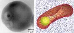 Malaria-infected cells stiffen, block blood flow