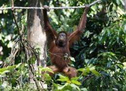 Malaysian experiment releases 3 orangutans in wild (AP)