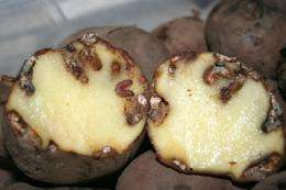 Moth larvae saliva boosts yield of Colombian spud
