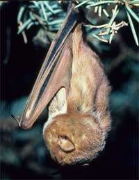 Mysterious disease killing off the local bat population