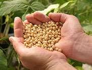 New CSIRO soybean a hit in Japan