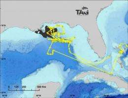 New study maps spawning habitat of bluefin tuna in the Gulf of Mexico