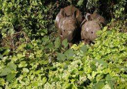 One-horned rhinoceros cubs graze on Mikania Micrantha climber vine plants