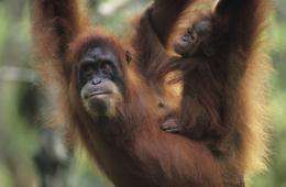 Orangutan copy cats