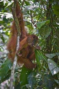 Orangutan DNA more diverse than human's, remarkably stable through the ages