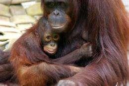 Racing against the Orangutan clock