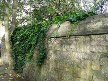 Oxford study finds that ivy can protect walls