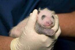 Panda cub born to Lun Lun at the Atlanta Zoo