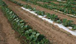 Paper mulches evaluated for commercial vegetable production