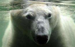 Polar bear ban defeated at UN conservation meeting (AP)