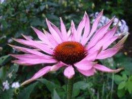 Potential industrial and agricultural uses of echinacea trump health claims
