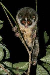 Rare Sri Lankan primate gets 1st wide-eyed closeup (AP)